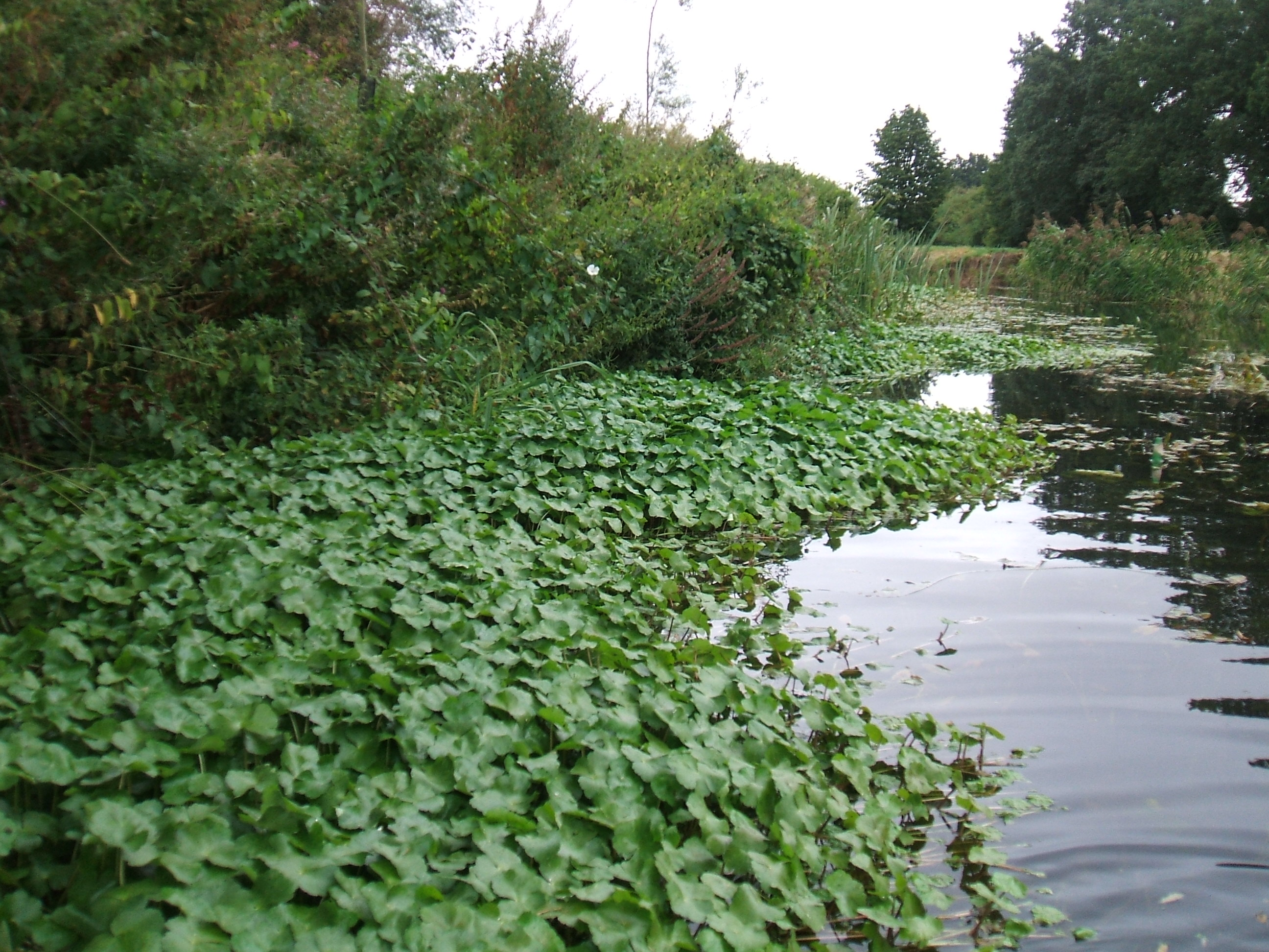 Floating-Pennywort