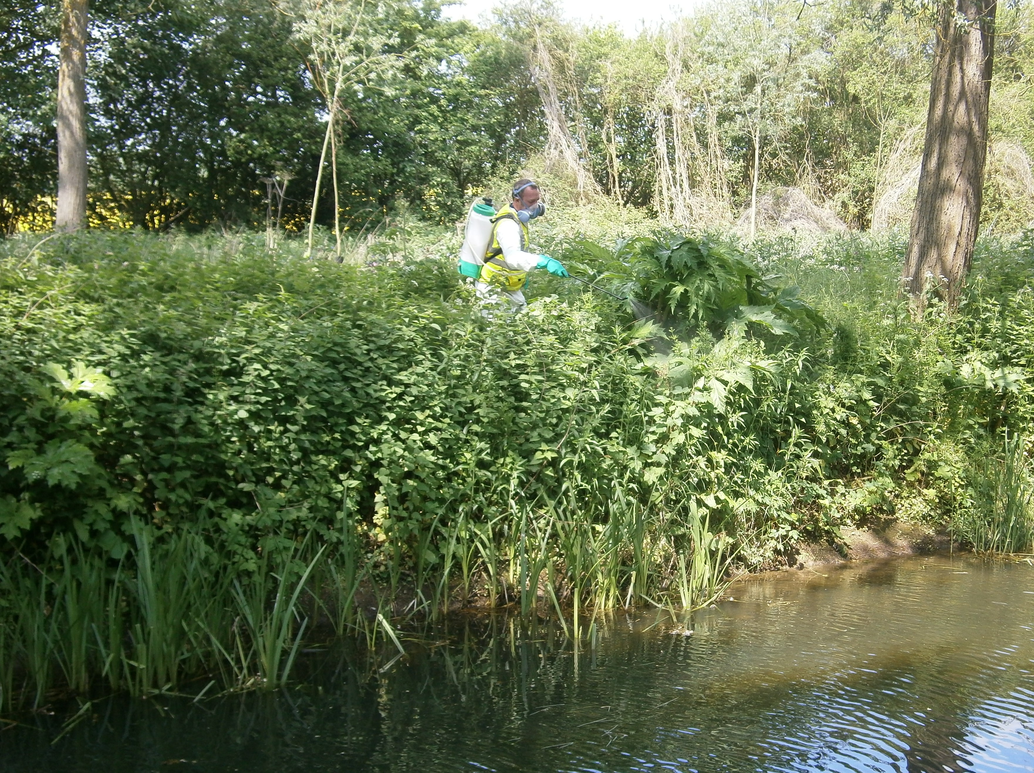 Herbicide control of Giant Hogweed